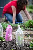 Kohlrabi plants protected under plastic bottles