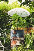 Regenschirm schützt Tomate im Blechfass vor Regen