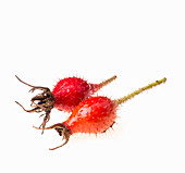 Two rose hips (close-up)