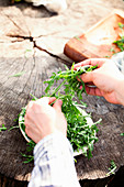 Rocket salad in farmers hands