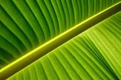 Banana leaf (Musa sp.)