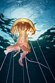 Mauve stinger jellyfish