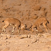juvenile Nubian Ibex