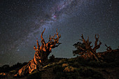 Milky Way and bristlecone pine trees