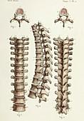 Spinal anatomy and vertebrae, 1866 illustrations