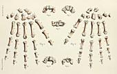 Bones of the hand, 1866 illustrations