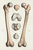Femur and patella bones, 1866 illustrations