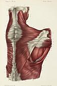 Upper back muscles, 1866 illustration
