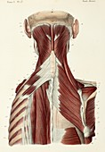 Second layer of back and neck muscles, 1866 illustration