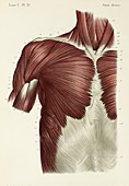 Chest and shoulder muscles, 1866 illustration