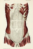 Abdominal muscles, 1866 illustration