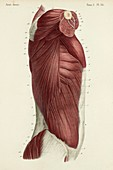 Lateral trunk muscles, 1866 illustration