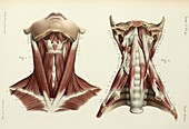 Neck and prevertebral muscles, 1866 illustrations