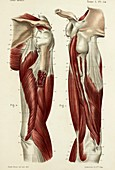 Upper arm muscles, 1866 illustrations