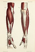 Lower arm muscles, 1866 illustrations
