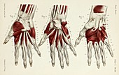 Third to fifth layers of hand muscles, 1866 illustrations
