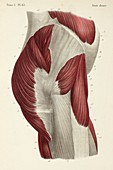 Hip muscles, 1866 illustration