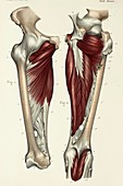 Deep thigh muscles, 1866 illustrations