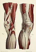Front and rear knee muscles, 1866 illustrations