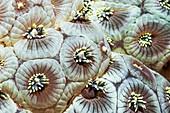 Goniopora coral polyps
