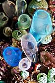 Rhopalaea and Atriolum sea squirts