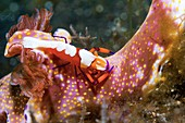 Emperor shrimp on a nudibranch