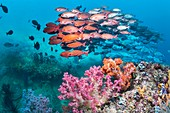 Slender pinjalo snappers over corals