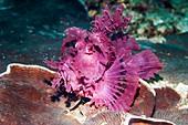 Paddle-flap scorpionfish