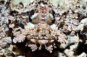 Camouflaged scorpionfish