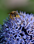 Common wasp on a globe thistle