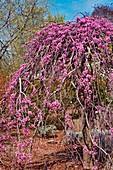 Weeping redbud (Cercis canadensis 'Lavender Twist') blossom