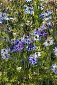 Love-in-a-mist (Nigella damascena) flowers