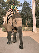 Asian elephant and rider