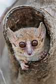 Gray Mouse lemur peering from its hole