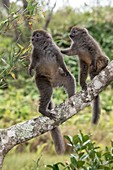 Gray bamboo lemurs foraging for bamboo