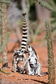 Female ring-tailed lemurs kissing