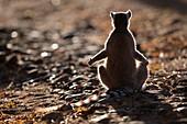 Ring-tailed lemur sunning itself at dawn