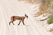 Caracal with its prey