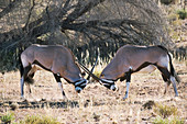 Gemsbok locking horns