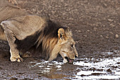 Male lion at a water hole