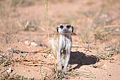 Meerkat feeding on the ground