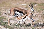 Springbok mother and calf