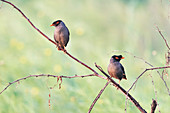 Bank mynas, India