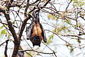 Fruit bats, India