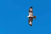 Long legged buzzard, India