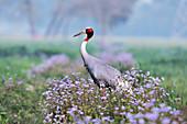 Sarus crane, India