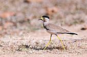 Yellow-wattled lapwing, India