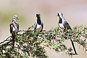 Namaqua dove female and males