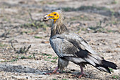 Egyptian vulture, India