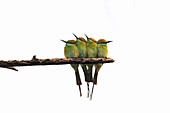 Green bee-eaters, India